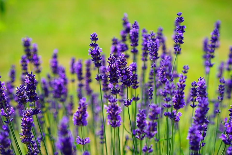 Photo of Science confirmation – Lavender even helps to relax