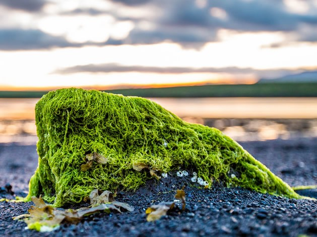 Photo of Common algae can lead to powerful antibiotics and fight cancer