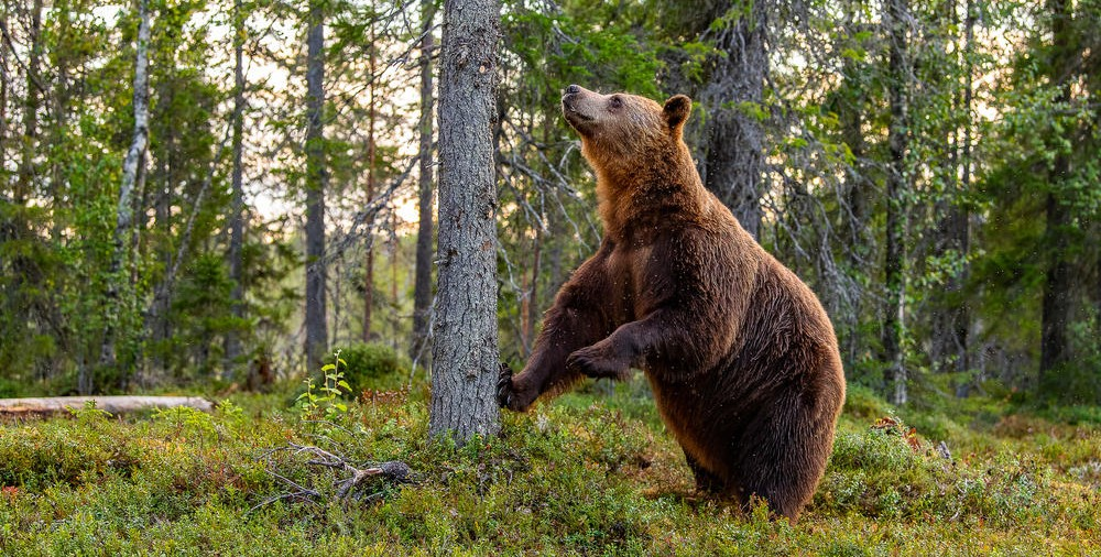 Photo of Species of brown bear that was considered extinct, seen in Portugal