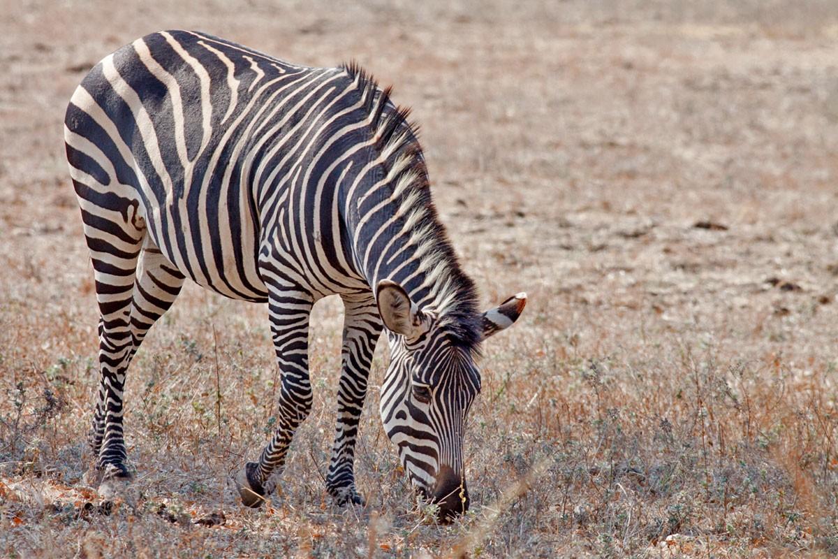 Photo of Mozambique receives 91 Kruger zebras for wildlife restoration