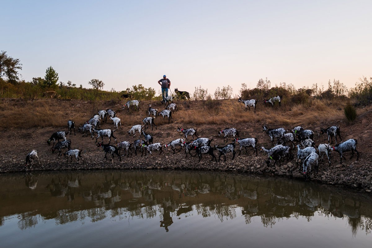Photo of Sapping goats take Portugal to The New York Times