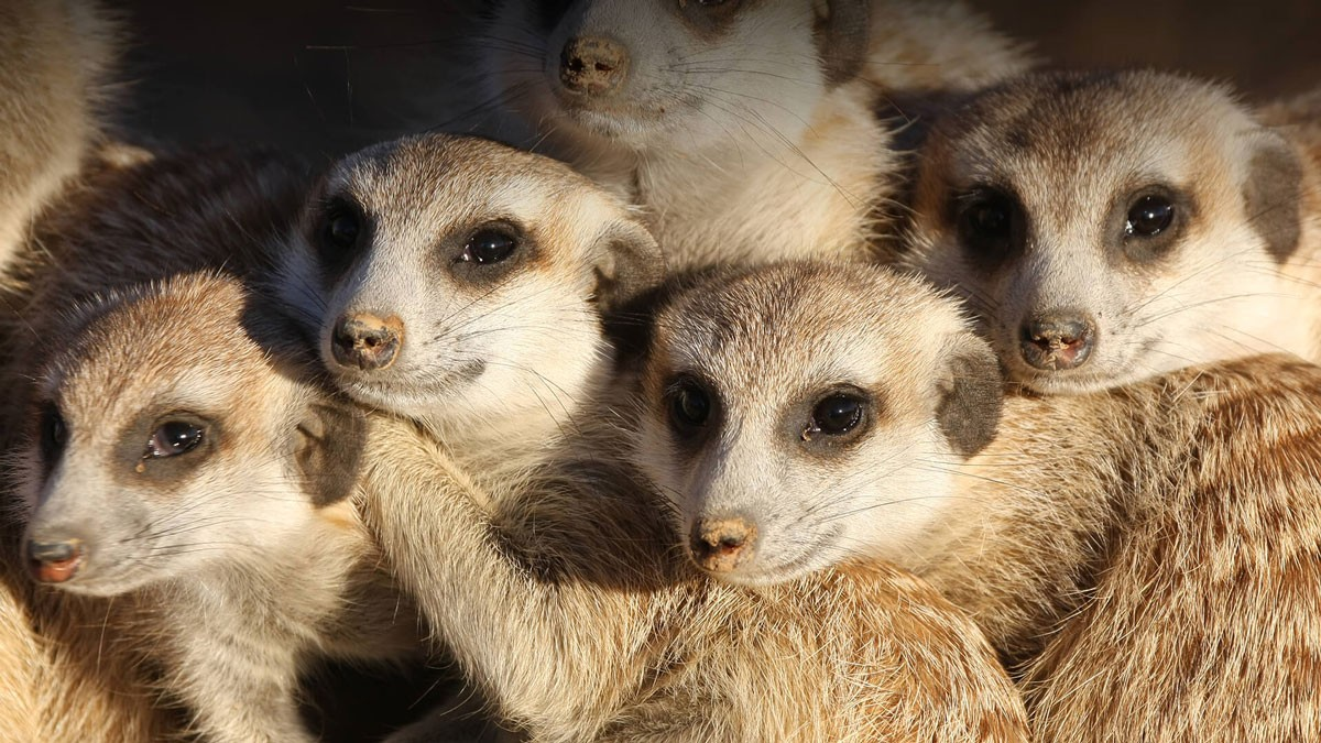 Photo of 7 meerkat pups were born in Lisbon. Zoo warns of preservation of savannas