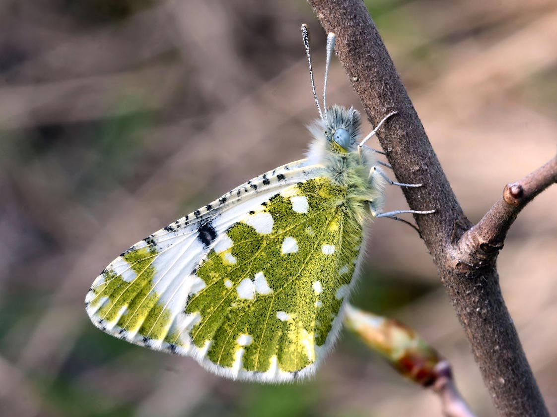 Photo of São Brás de Alportel receives training on butterfly censuses in Portugal