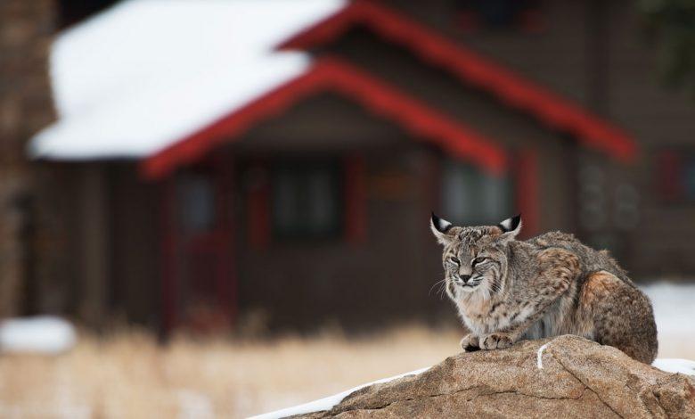 Photo of Iberian Lynx National Breeding Center opened vacancies for volunteer program