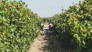 Photo of Dona Uva's grape harvest started today