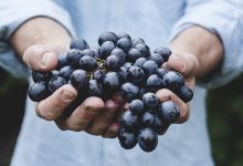 Photo of Harvest in Lisbon Viticultural Park is tomorrow