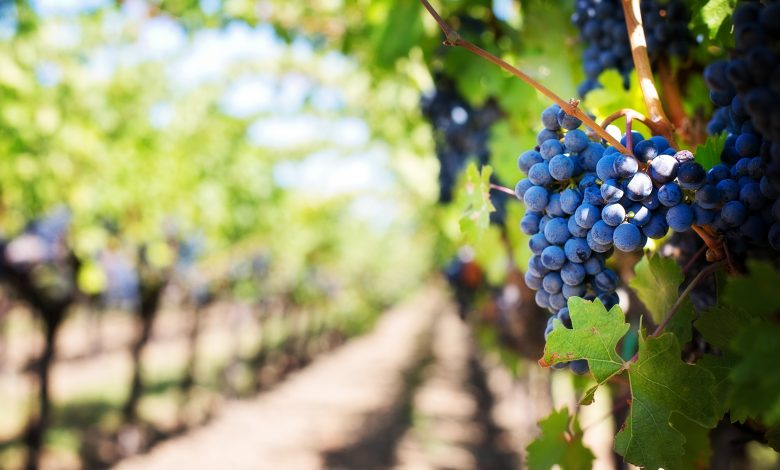 Photo of IVDP will ensure the grape harvesting to winegrowers until January 15th